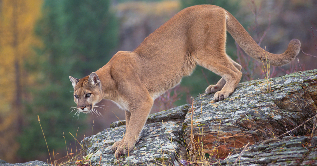 25++ What sound does a mountain lion make info