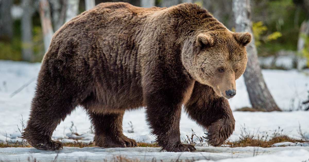 Grizzly-bear-protections-west-OG.jpg
