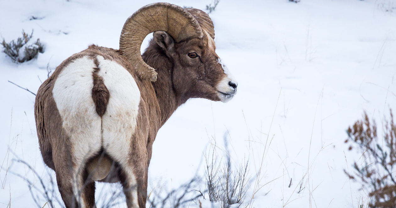 Idaho couple killed two bighorn rams with one tag