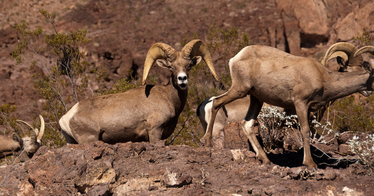 Feral Dogs Threaten Bighorn Sheep In Nevada Gohunt