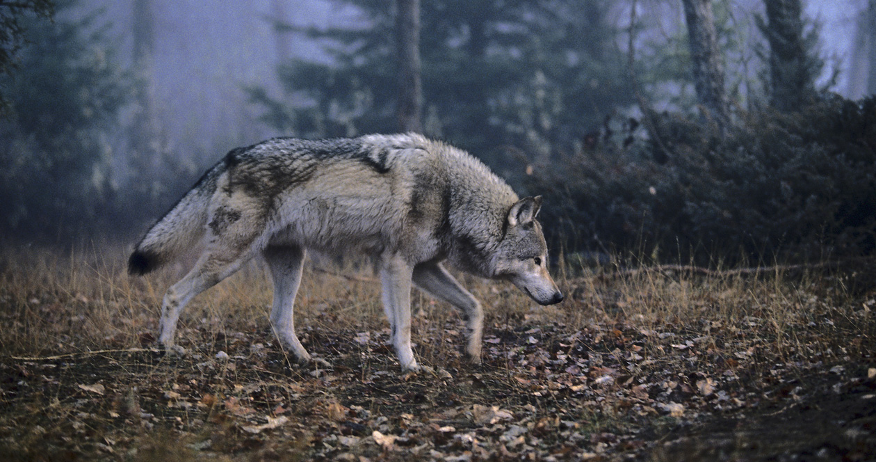 What will happen to wolves in Wisconsin?