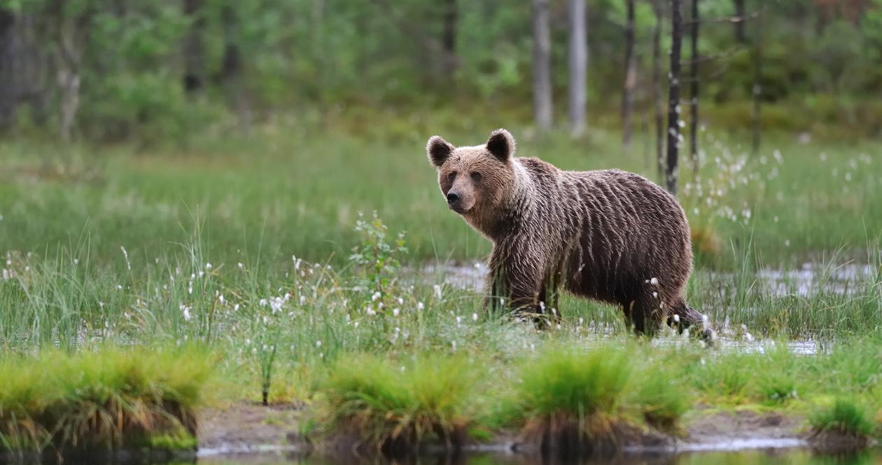 Environmental groups file lawsuit to ban bear-baiting in Wyoming and Idaho