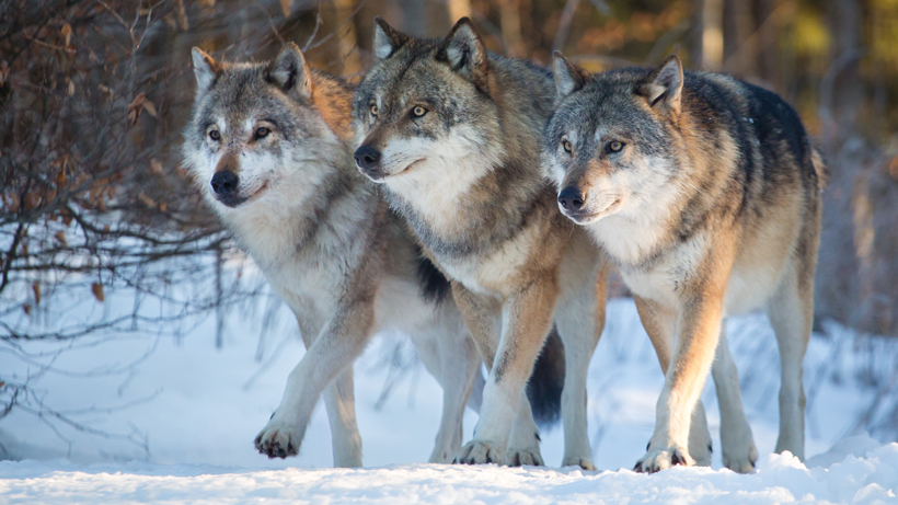 Hunters kill three members of the Junction Butte Pack