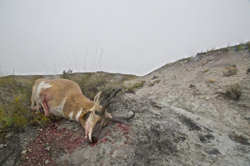 2014 archery antelope buck on the ground
