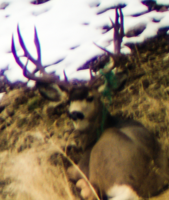 Glassing for wintering mule deer