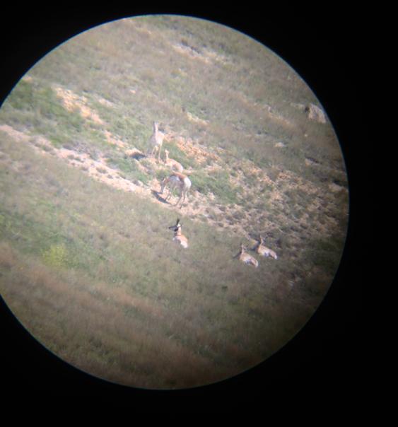 Antelope digiscope photo