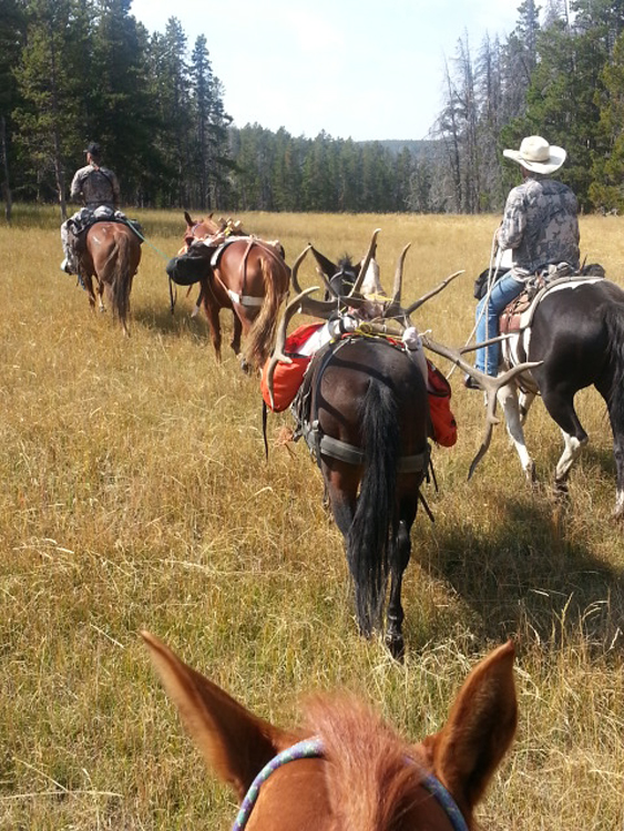 Horses loaded with elk meat