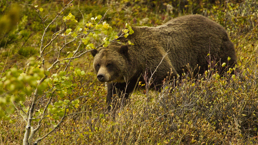2018 grizzly bear hunt blocked