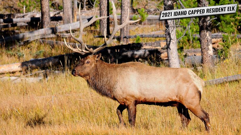 2021 Idaho resident capped elk tags on sale soon