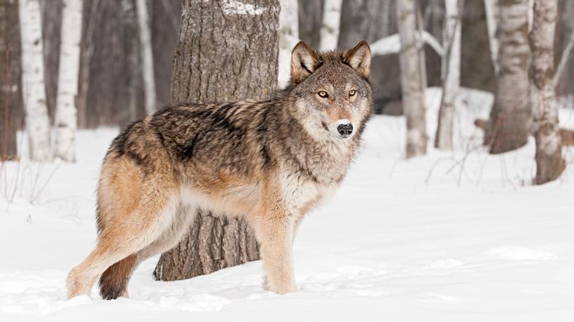 2021 Montana Wolf Snaring