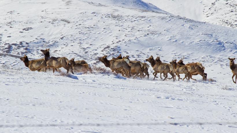 Hunters still angry over IDFG's killing of 206 elk last summer