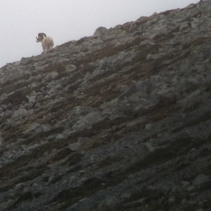 Giant Dall sheep ram
