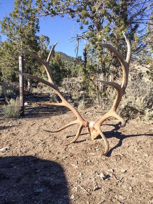 400 inch Nevada elk rack taken by Casey Spanish