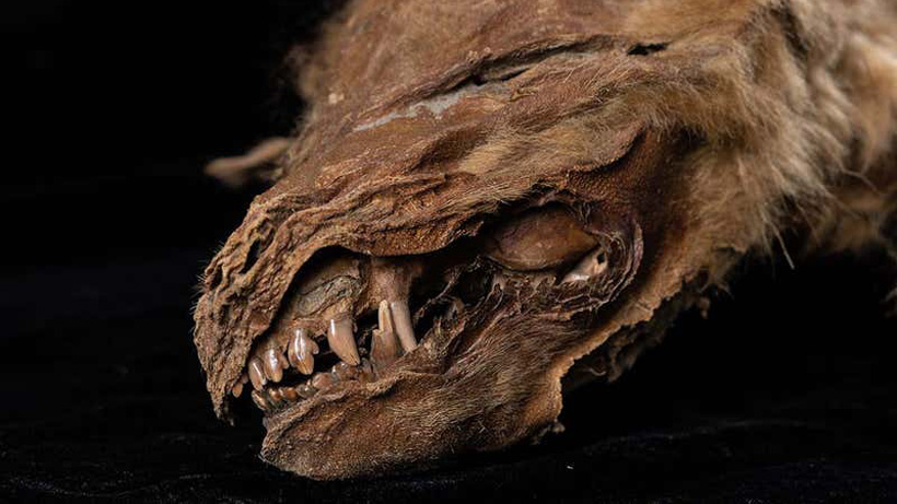 57000 year old mummified wolf pup