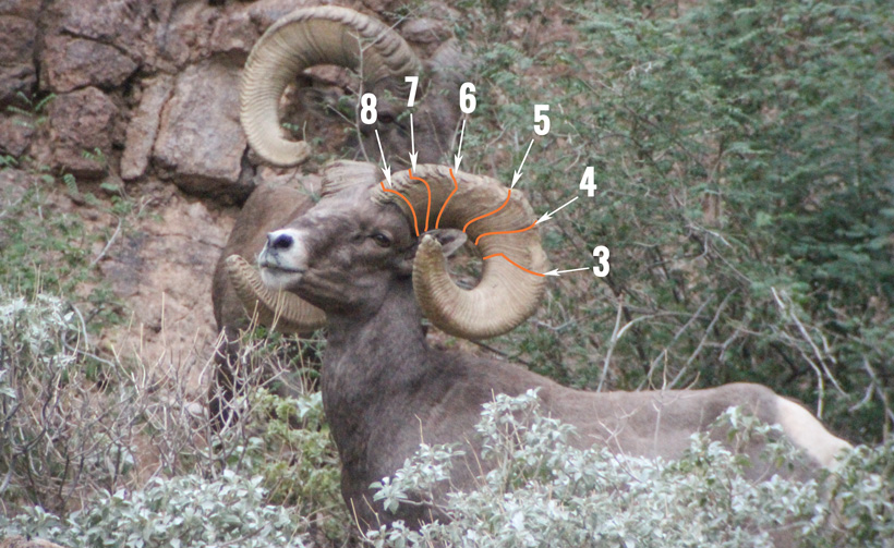 8 year old bighorn sheep ram annuli rings