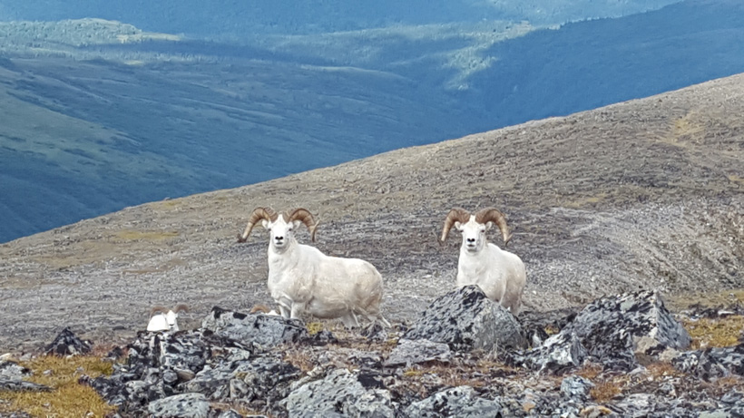 A very nice Dall sheep ram walking closer