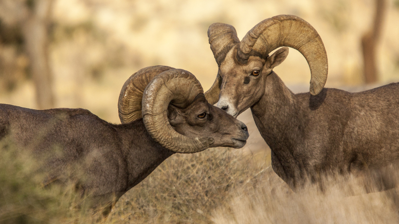 AZGFD restores water source to bighorn sheep