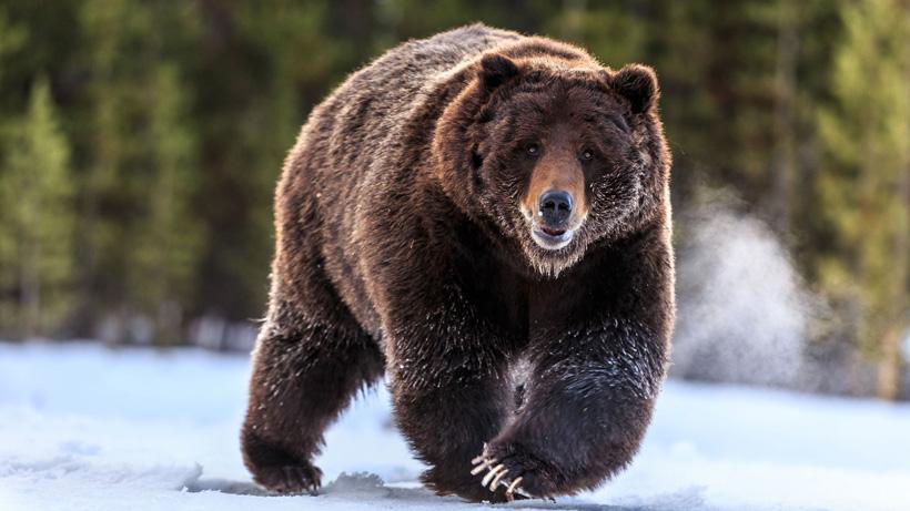 Alaska bear hunt closure COVID 19 update