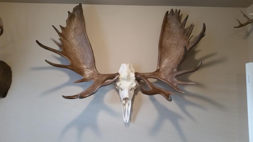 Alaska bull moose skull mount