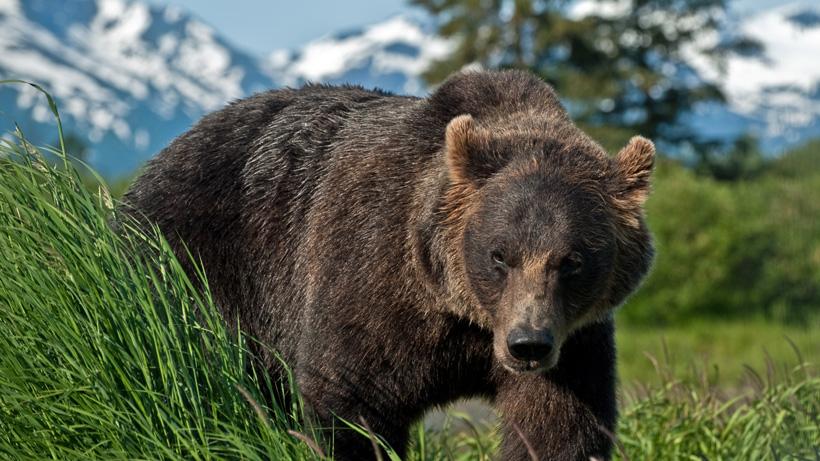 Alaska closes all bear hunts due to Covid 19