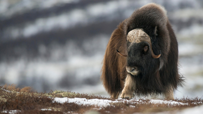 SCI-Alaska to donate proceeds of muskox raffle to AKDFG