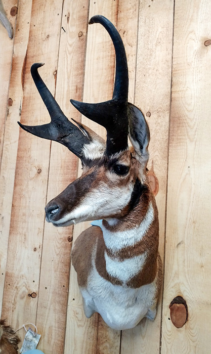 Antelope buck mount