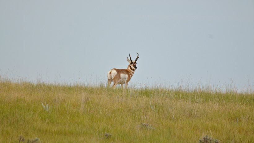 Antelope buck skylined