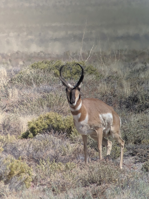 Antelope buck while archery hunting