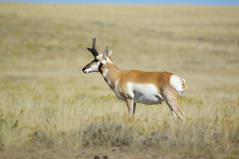 Large Wyoming antelope buck