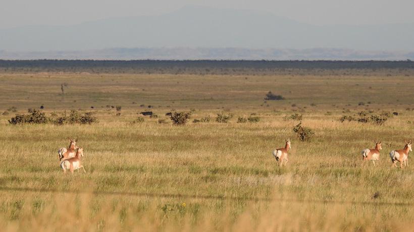 Antelope running away from hunters