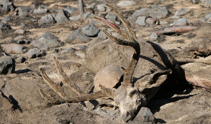 Archery velvet mule deer up close
