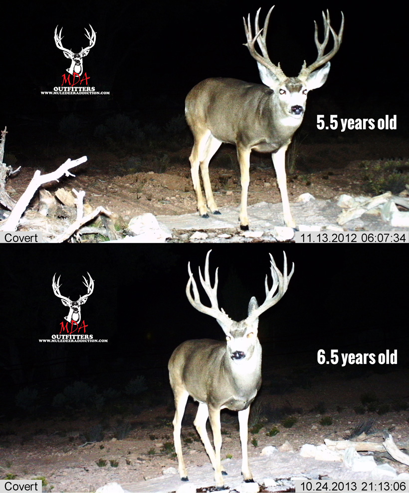 Arizona strip mule deer 5.5 to 6.5 years old