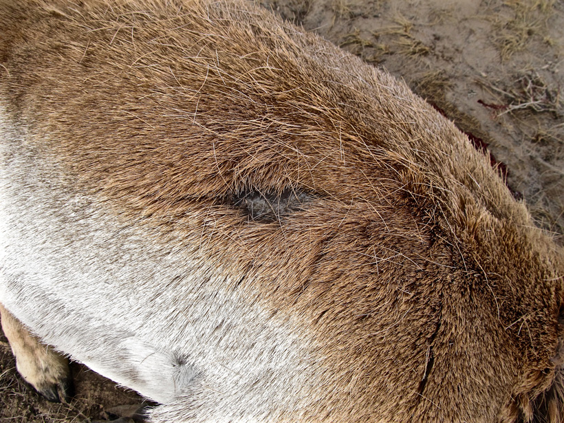 Back scar on a Wyoming antelope buck