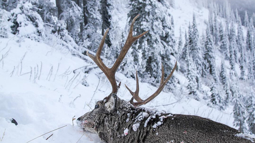 Back view of a Montana high country mule deer