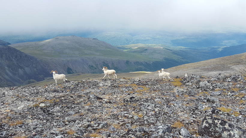 Band of Dall sheep