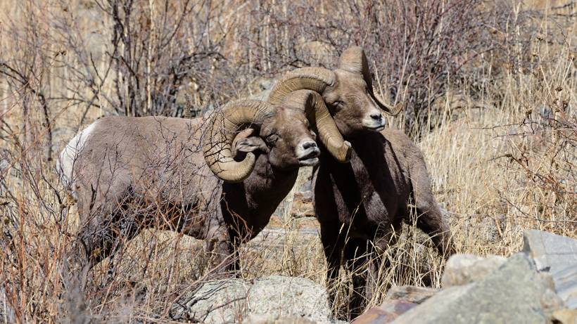 Band of bighorn sheep