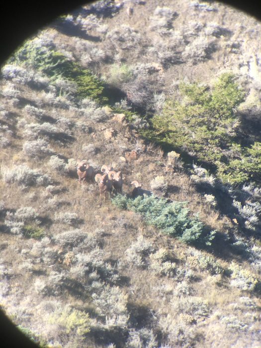 Band of rams through spotting scope