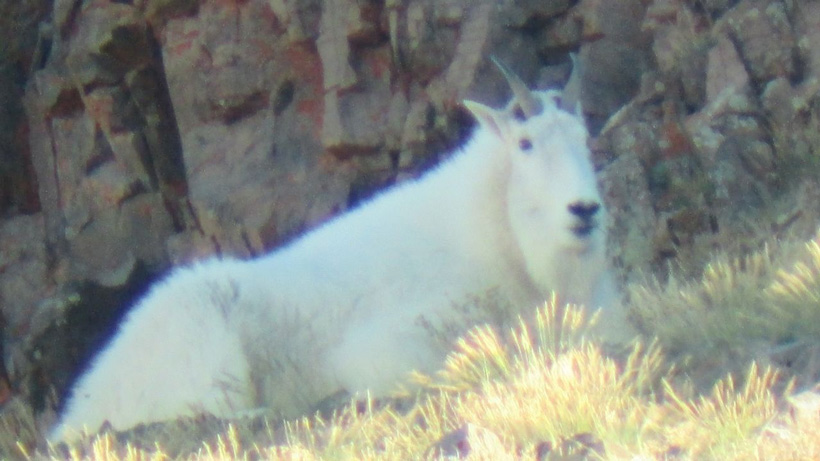 Bedded mountain goat