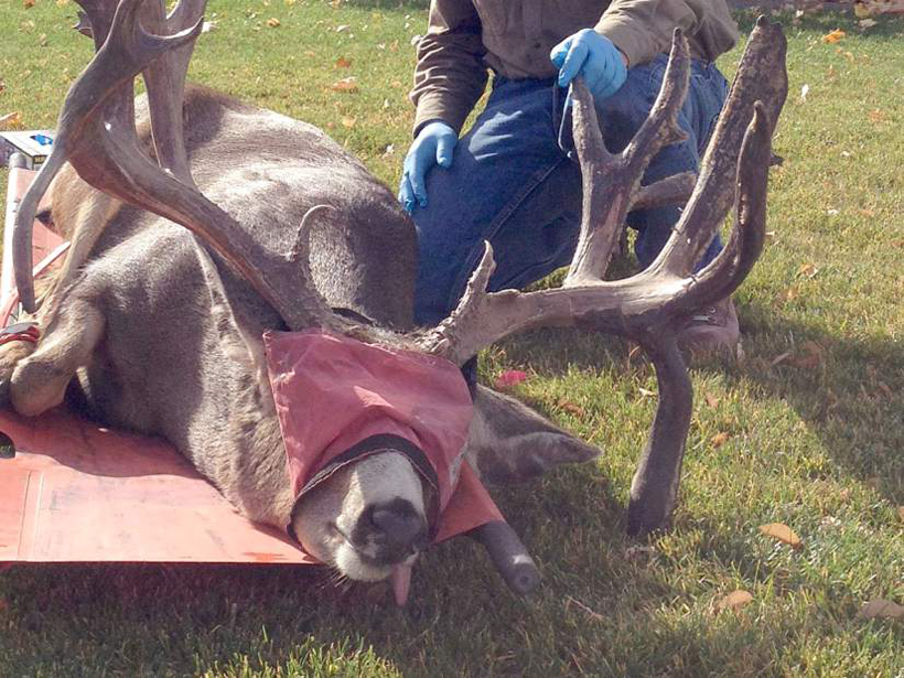 Bend buck tangled in fence
