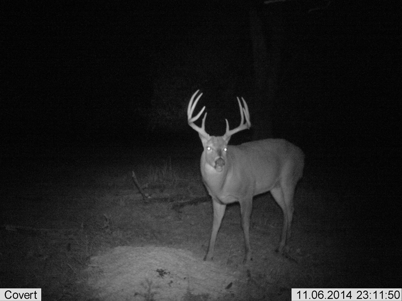 Four year old eight point whitetail buck
