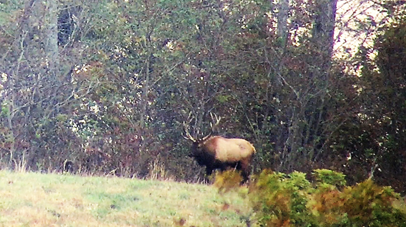 Big Arkansas bull elk while scouting