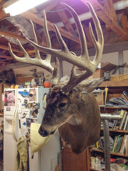 Tribute mount to the Big Ten buck