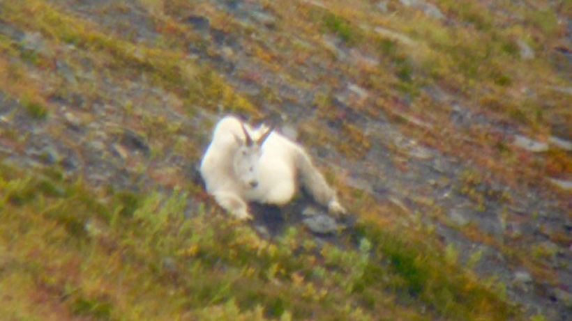 Big mountain goat bedded