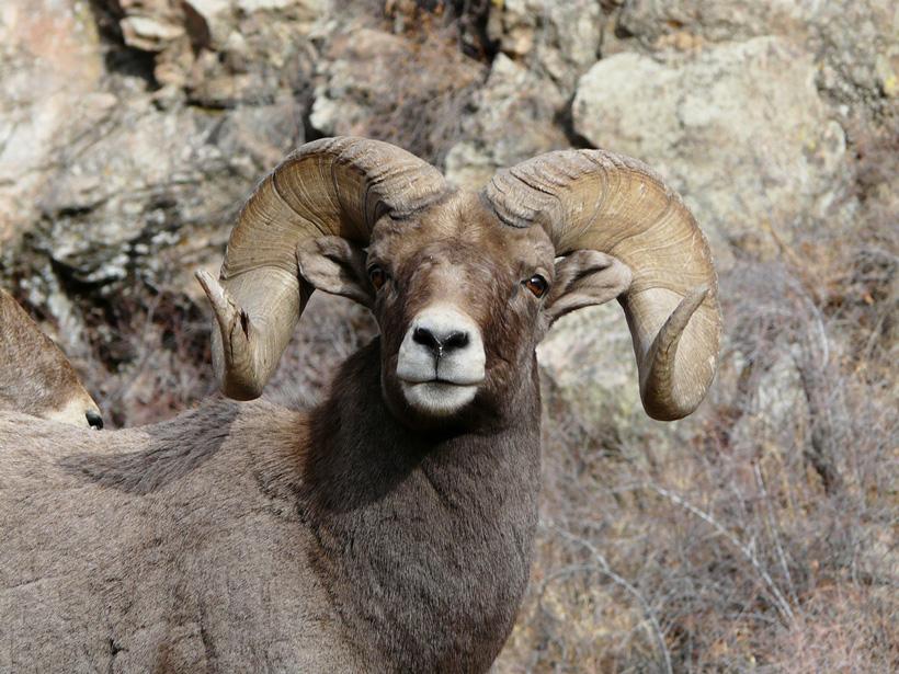 Colorado bighorn ram