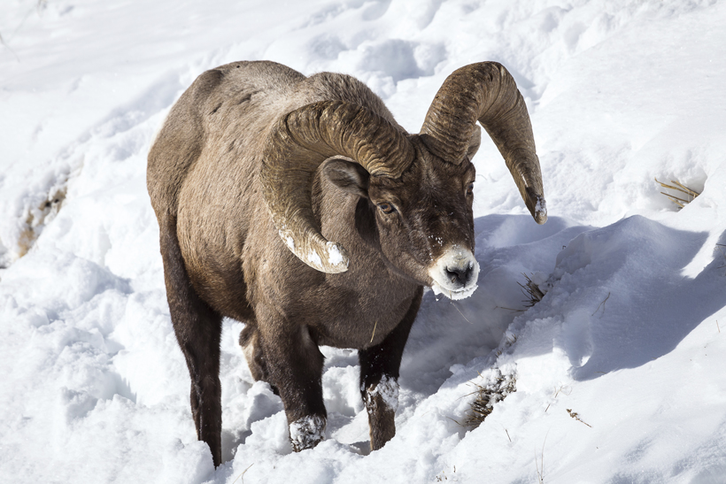 Bighorn sheep populations across 6 states