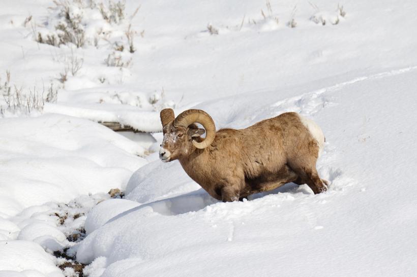 Bighorn sheep ram in snow