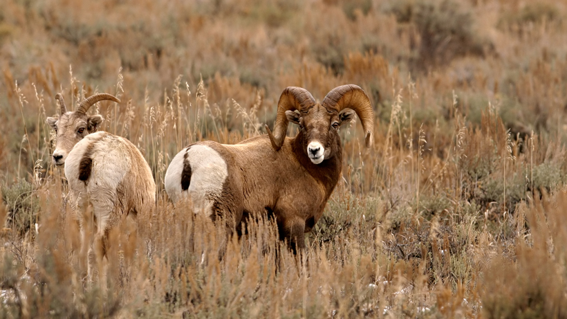 WGFD to open bighorn sheep hunting to the Owl Creek Portion of Area 5
