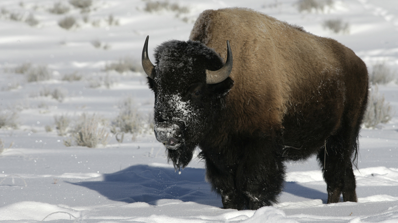 Bison cull underway in Yellowstone National Park