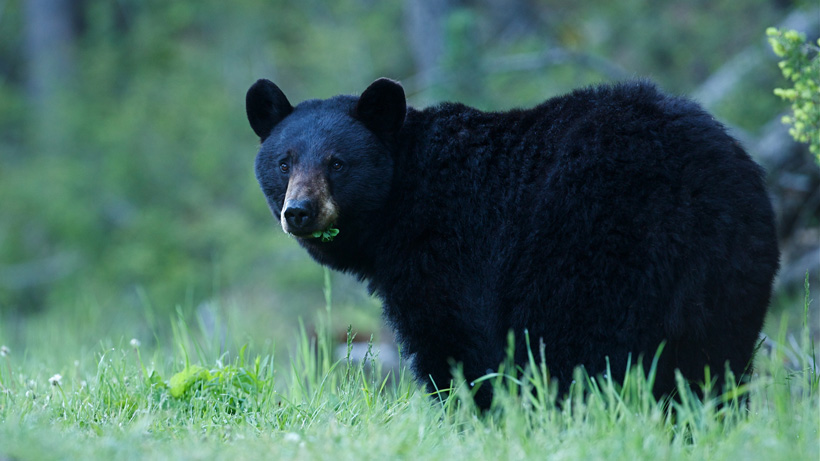 Black bear eating grass