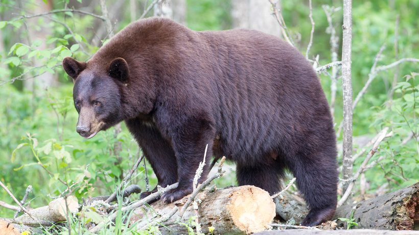 Black bear hunting banned in Florida